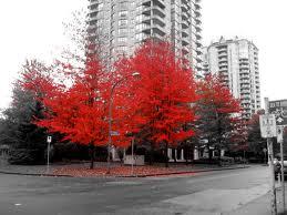 rode boom in zwart wit foto